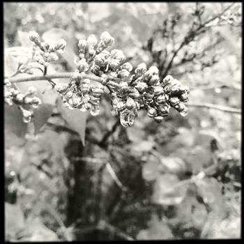 Lilacs and Raindrops in Black and White